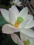 蓮の花�T.JPG